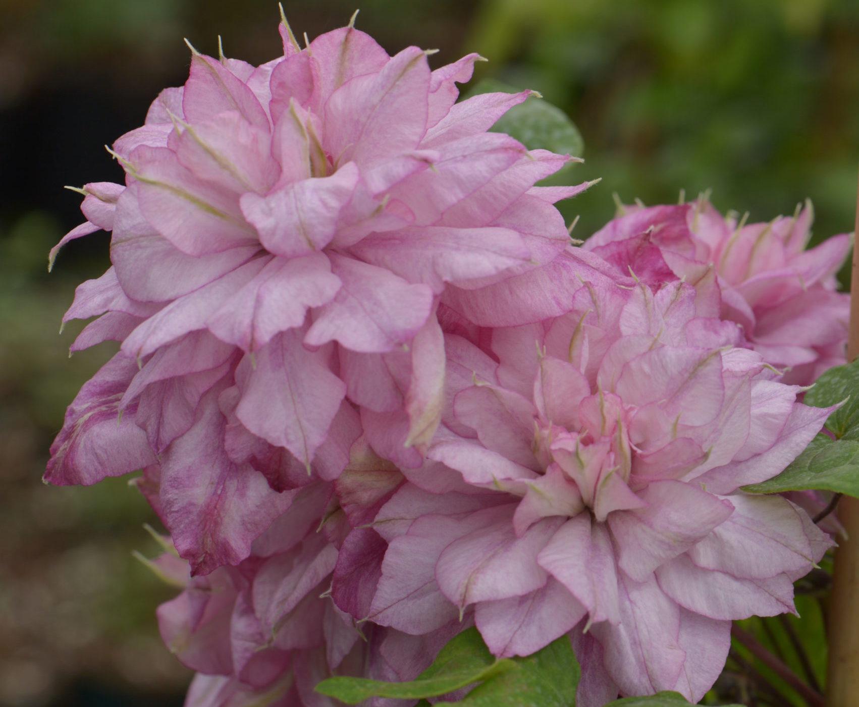 Romanttisen puutarhan ballerinat