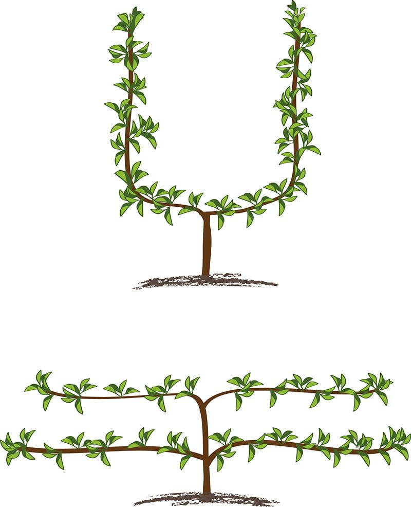 Säleikköpuu voi olla esim. vapaamuotoinen viuhka tai kuten tässä U-muotoinen tai kuin kaksitasoinen aita, joka on kiinnitetty vaakasuoriin tukiin.