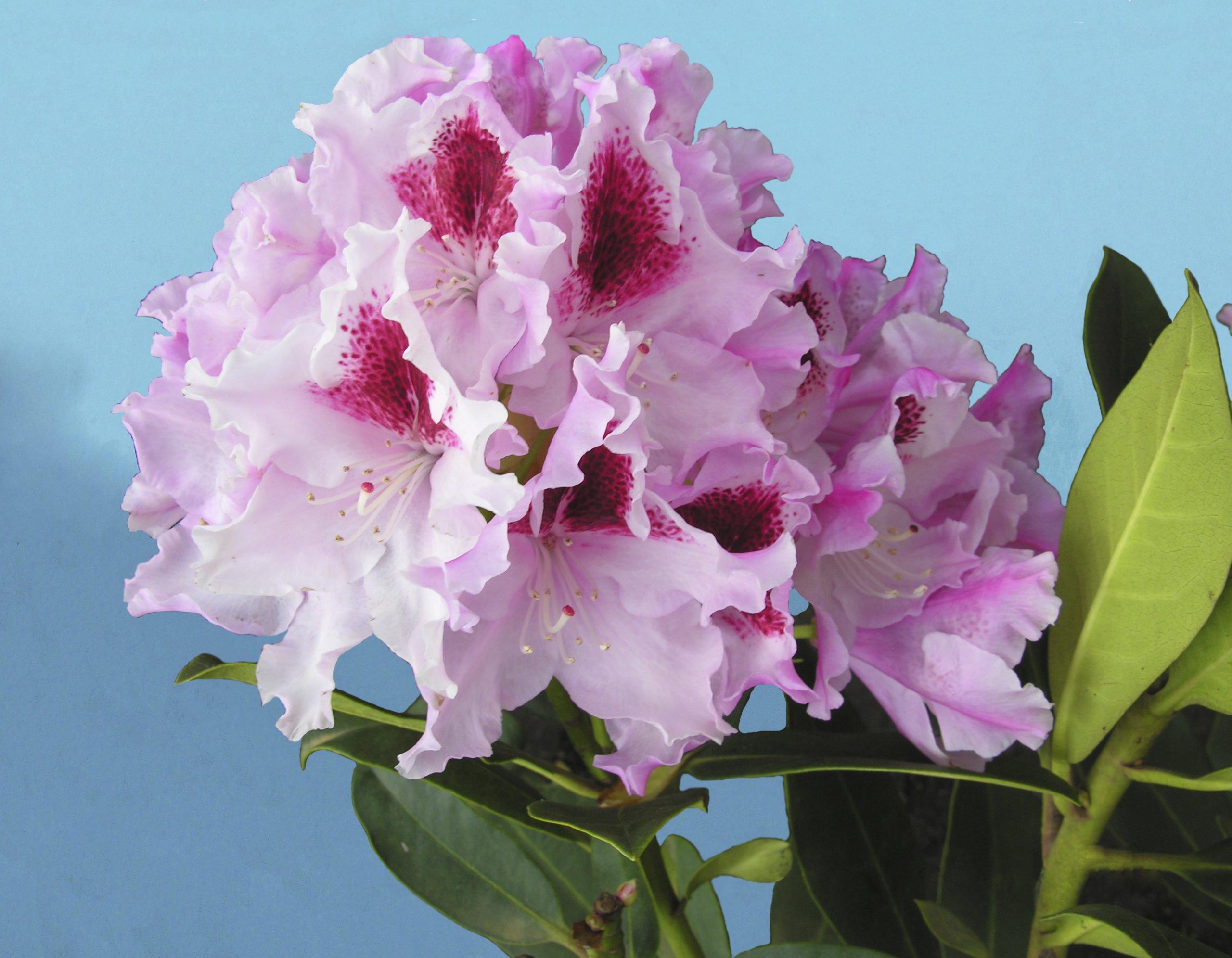 Rhododendron Royal Butterfly, alppiruusu