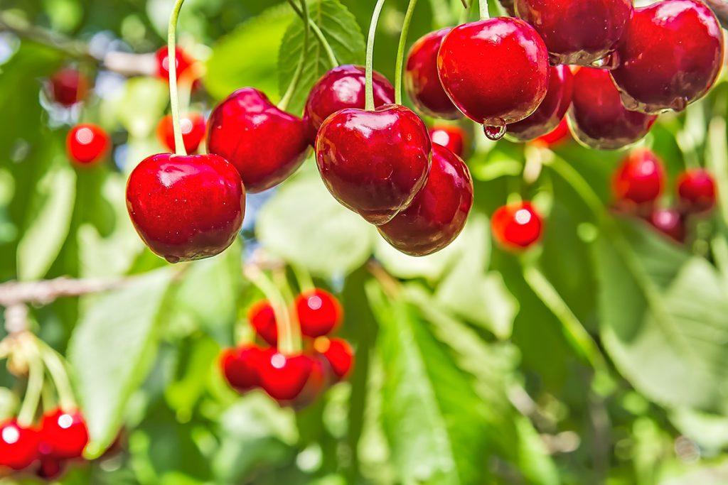 Kirsikoista makeimmat