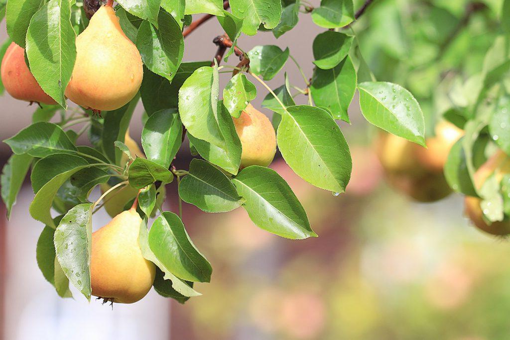 Pohjolan makeat ja kestävät päärynät