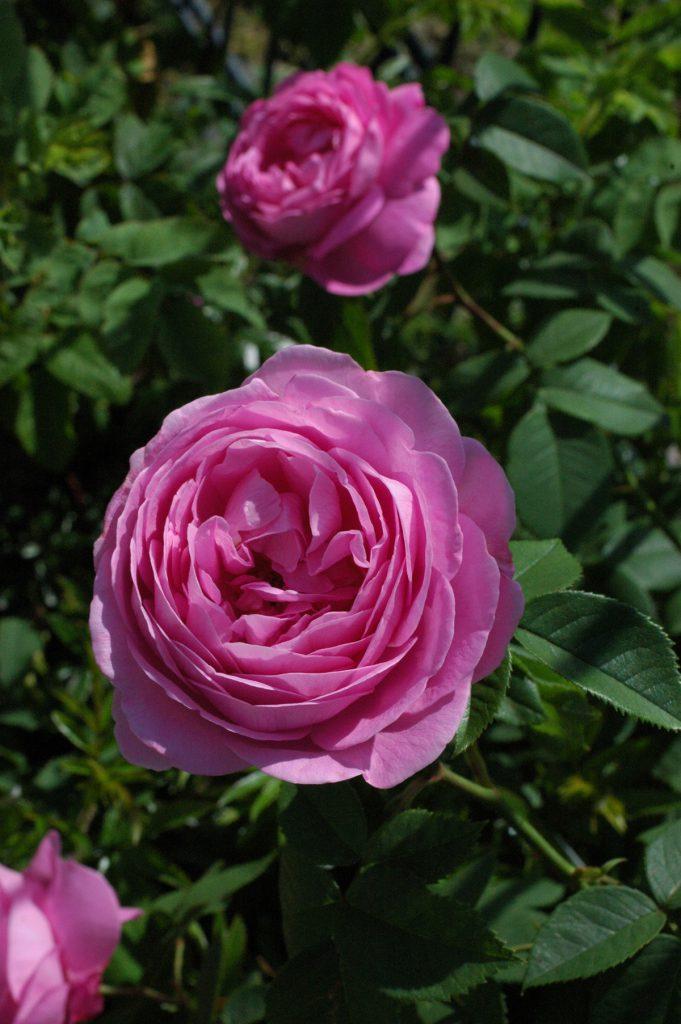 Ruusut – suurten tunteiden tulkit
