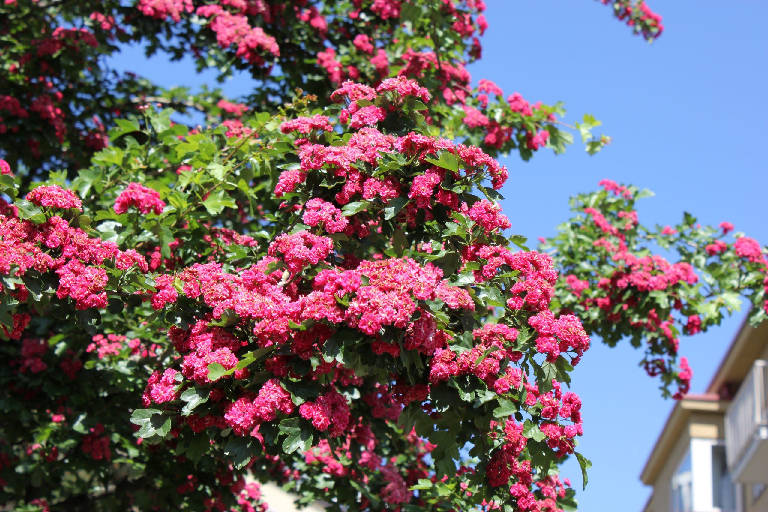 Kevään lumoavimmat kukkapuut