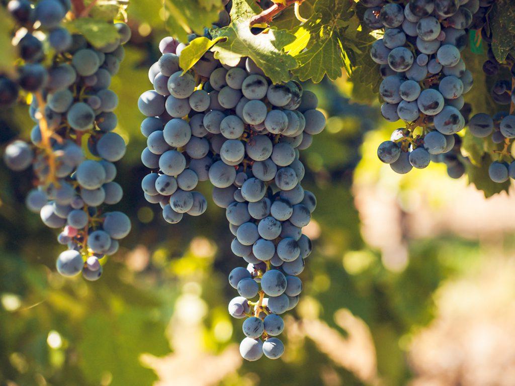 Viinirypäleitä helpolla tavalla