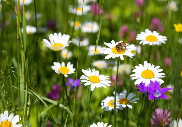 Haaveena kukkiva kesäinen niitty