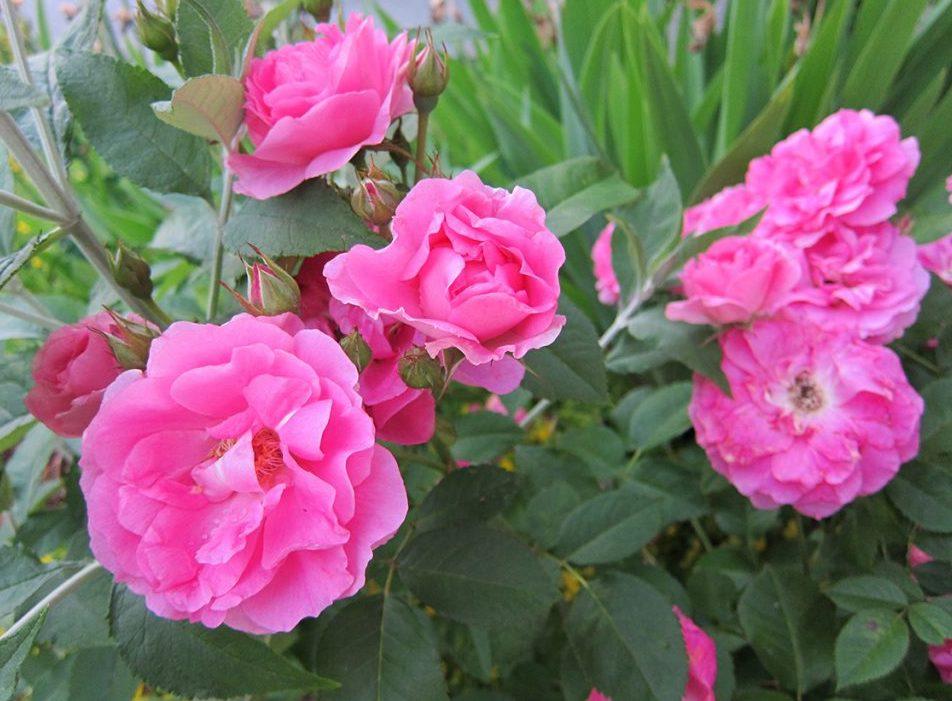 Kanadalaiset ruusut