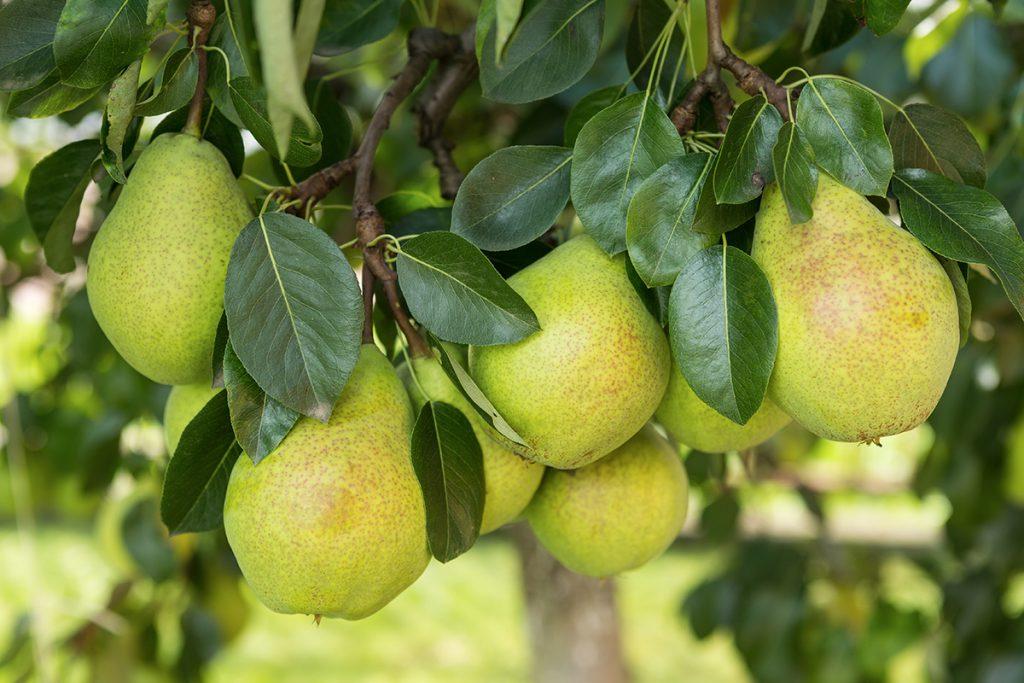 Makuisa-päärynät